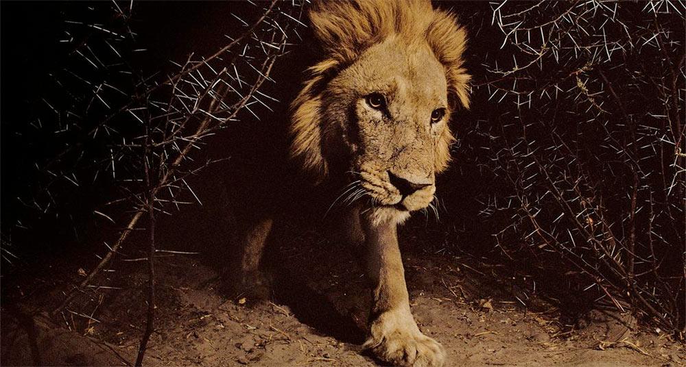 15 retratos íntimos de leones