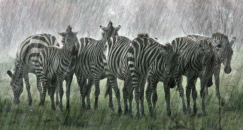 lluvia cebras