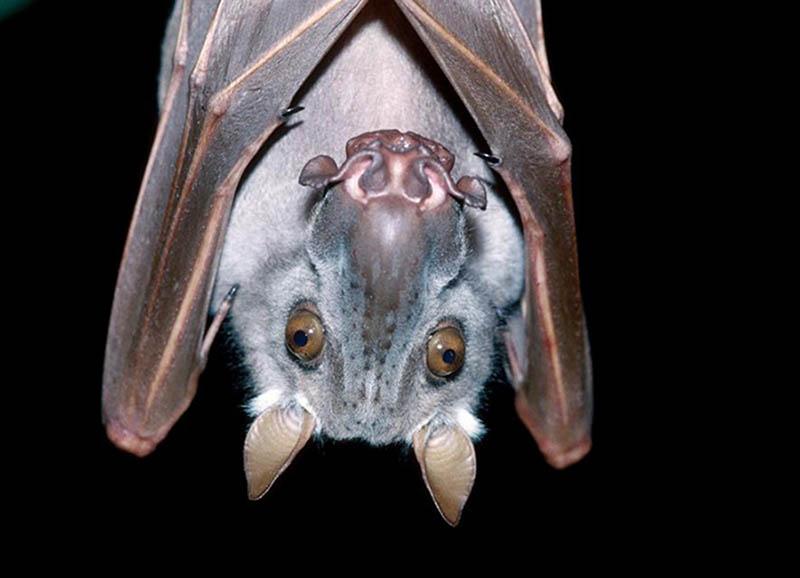 murciélago frugívoro cabeza de martillo animales raros
