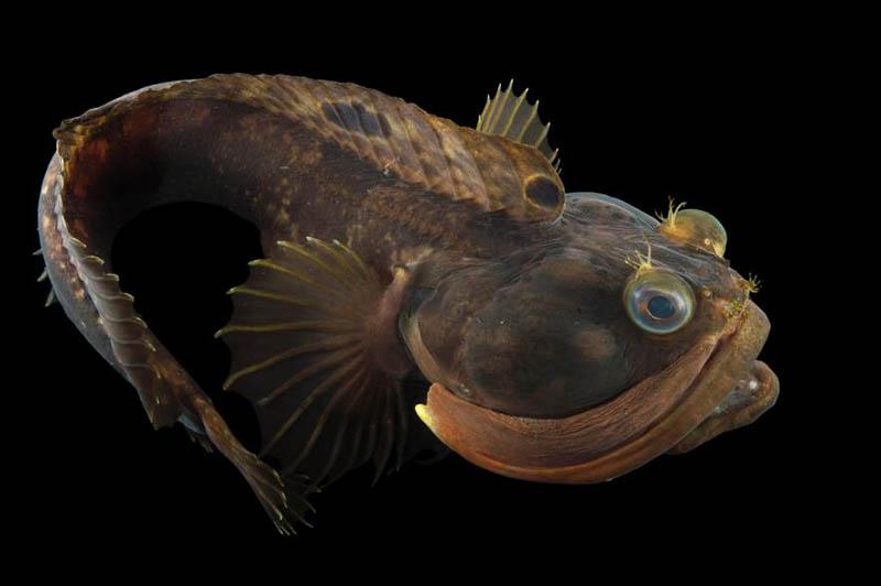 pez tubícola chusco. animales raros