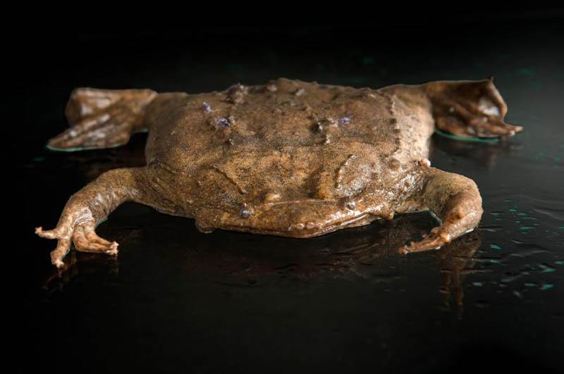 sapo de Surinam animales raros
