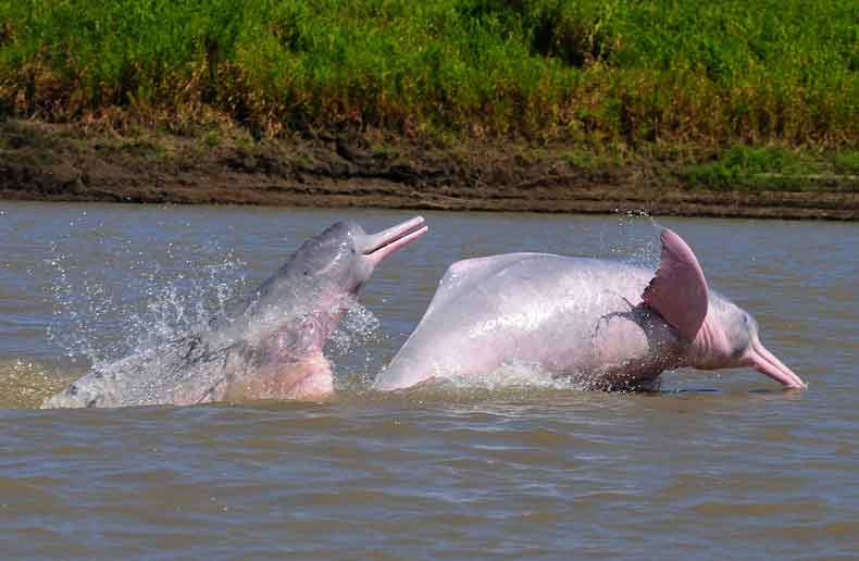 animales en peligro de extincion delfin rosado amazonas