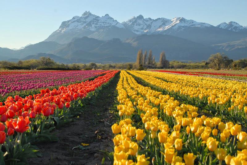 Fondo Escritorio Paisaje Nevada En Cumbre: La Magia De Los Tulipanes En La Patagonia